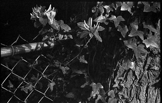 floral forms, ivy, tree bark, wire fence, The Lagoon, West Asheville, NC, Kodak Retina IIIc, Arista.Edu 200, Ilford Ilfosol 3 developer, 5.23.18