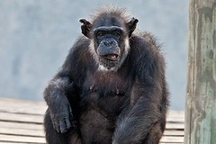 """How to Decide Whether Ailing Chimps Get Moved to a Sanctuary (NewsPie) Tags: how decide whether ailing chimps get moved sanctuary sanctuarya new report suggest that federally owned or supported should go sanctuaries unless trip is """"extremely likely shorten their lives""""may 29 2018 0600amby james gorman from nytsciencemonkeys apes animal abuse rights welfarevia newspie read full article frem here httpswwwnytimescom20180529scienceailingchimpssanctuaryhtmlpartnerifttt science"""