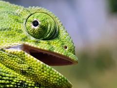 Chamaeleo chamaeleon (Pedro Muñoz Sánchez) Tags: camaleon chamaeleo chamaeleon