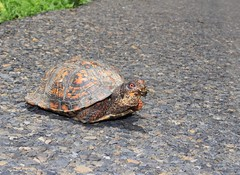 Eastern Box Turtle, Central Bucks County, PA, June 2018 (sstaedtler) Tags: turtle buckscounty nature wildlife photography reptiles boxturtle