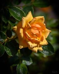 Soft Orange (Jocey K) Tags: rose newzealand nikond750 christchurch flowers