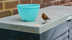 Robin (Andrew Kettell) Tags: robin birds nature red breast