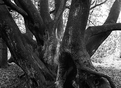 Ancient Beech (Hyons Wood) (Jonathan Carr) Tags: ancient woodland analog rural northeast hyonswood monochrome black white bw landscape hp5 tree mediumformat mamiya 645