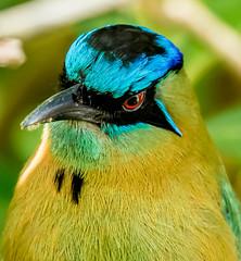 The blue crown of Lesson's Motmot (Momotus lessonii), San Jose, Costa  Rica (frankmetcalf) Tags: costarica momotuslessonii lessonsmotmot hotelbougainvillea sanjose bluecrownedmotmot