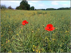 Two Solitary Poppies .. (** Janets Photos **) Tags: uk nature rapeseed poppies crops fields