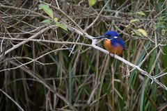 Azure Kingfisher (petefeats) Tags: alcedinidae australia azurekingfisher birds brisbane coraciiformes ceyxazureus goldcreekdam nature queensland