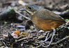 Moustached Antpitta (Jonah Benningfield) Tags: smol floof thicc ball ant antpitta moustached ecuador windex lilhomephone rappsnitchknishes 4betteror4worse