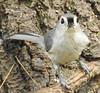 Tufted Timouse (carolinawren2) Tags: tuftedtitmouse titmouse passeriformes paridae ohio backyard birding birds