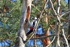 Большой пестрый дятел. (tam6524) Tags: большойпестрыйдятел dendrocoposmajor greatspottedwoodpecker bird animal nature nutrition wood forest picidae