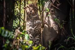 Little Cub Big World (helenehoffman) Tags: cub amurleopard pantherapardusorientalis conservationstatuscriticallyendangered felidae mammal panthera sandiegozoo feline cat fareasternleopard carnivore bigcat animal specanimal coth5