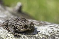 It´s a lazy day... (- A N D R E W -) Tags: toad nature animal june summer log branch 80d canon 90mm tamron f28