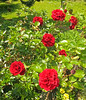 Red Roses Especially for Elisabetta xxxxxx (Cornishcarolin. Stupid busy!! xx) Tags: cornwall penryn nature flowers roses oil filters oilfilter climbingroses climbingplants redroses