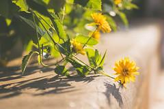 Livin on the edge (Sarah Rausch) Tags: macro flower yellow stems bokeh green edge shadow backlight shadows darklight dark light sony leaf leaves livinontheedge