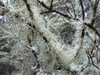Liking Lichen (zoniedude1) Tags: oregon forest lichen tree likinglichen beardlichen methuselahsbeardlichen dolichousnealongissima oldmansbeard usneasp fruticoselichen parmeliaceae lecanoromycetes fungi pacific coastalforest pacnw pacificcoast seashore fortstevensstatepark oregoncoast closeup detail macro wild nature canonpowershotg12 pspx9 zoniedude1 earthnaturelife
