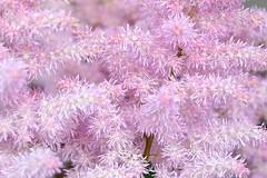 Pink Dream (YY) Tags: netherlands lisse keukenhof flower flowers