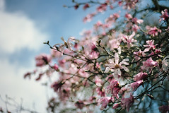 still time for spring, part one (manyfires) Tags: film analog flowers floral floralscape spring blossom bloom oregon pacificnorthwest pnw 35mm nikonf100 bokeh magnolia branches branch tree sky