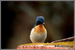 7898 - Tickells blue flycatcher (chandrasekaran a 50 lakhs views Thanks to all.) Tags: tickellsblueflycatcher birds wayanad kerala india nature canoneos6dmarkii tamronsp150600mmg2