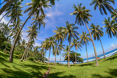 Coconut trees on Lombok Island, Indonesia (phuong.sg@gmail.com) Tags: agricultural agriculture asia blue climate coconut countryside county cultivated day ecology exotic farm farmland field frond green greenery grove horizon horticulture industry island landscape leaf leaves locations nature nursery organic outside palm plantation plants rural shadows sky south summer sunny thailand travel tree tropical vegetation vietnam