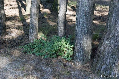 Шацький Національний Природний Парк Озеро Пісочне Стовбури дерев InterNetri  Ukraine 390