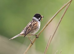 Reed Bunting (Alan McCluskie) Tags: reedbunting buntings birds reeds reedbeds lake pond canon7dmk2 sigma150600mmsp avian explored inexplore explore