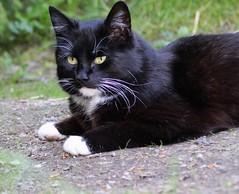 Eye-contact? (aggeji) Tags: fs180603 ogonkontakt fotosondag pet cat animal eyecontact blackandwhite glance cateye paw