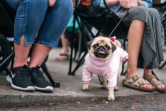 PugCrwal-35 (sweetrevenge12) Tags: portland oregon unitedstates us pug parade crawl brewing sony pugs dog pet
