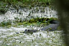 DSC09617.jpg (joe.spandrusyszyn) Tags: lakeland unitedstatesofamerica americanalligator florida animal crocodilia nature byjoespandrusyszyn circlebbarreserve polkcounty alligatormississippiensis reptile vertebrate alligatoridae alligator