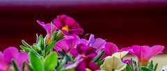Minipetunien (p.schmal) Tags: olympuspenepm2 hamburg farmsenberne balkonblumen minipetunien husarenknöpfchen