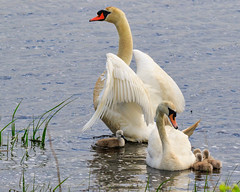 Dad Gets Agitated (dngovoni) Tags: action bird bombayhook delaware spring swan water wildlife