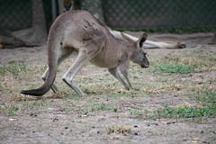 Australia_2018-50.jpg (emmachachere) Tags: subtropical trees hike waterfall boatride springbrook australia rainforest kanagroo animals koala brisbane boat lonepinekoalasanctuary