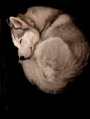 Schnozzy (huskiilove) Tags: portrait sleep snuggle warm dog comfort grey white black negativespace husky