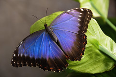 Blue Morpho Butterfly (Morpho peleides) (Seventh Heaven Photography) Tags: blue morpho butterfly insect bluemorpho morphopeleides nikond3200 peleides chester zoo cheshire papillon