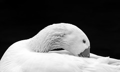 Cleaning feathers (mark-james) Tags: geese wildlife photography nature animal feathers blackandwhite