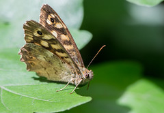 Le Tircis - Pararge aegeria (michel lherm) Tags: insecte insetto insekten mariposa insekt lepidoptera 虫子 marron butterfly rhopalocères animals fauna animaux france 昆虫 wings nature schmetterling insecto schmetterlinge farfalle brown nymphalidae orange animal macro ailes borboleta tircisparargeaegeria papillons animalia faune papillon insect fly insectes vert insecta green naturaleza lépidoptères