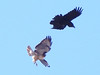 Raven diving on Red-tailed Hawk 1 (David Bygott) Tags: usa arizona ruby sycamorecanyon raven attacking redtailed hawk