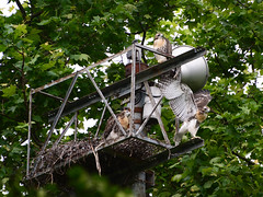 DSC_0867 (rbs10025) Tags: redtailedhawk buteojamaicensis young bird morningsideheights manhattan nyc nest grantstomb generalgrantnationalmemorial