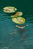 Nymphaea (Ivan Vranić hvranic) Tags: river krupa green waterlilies