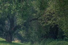 * (sedregh) Tags: siegaue siegmündung bonn meindorf weide baum bäume tree trees