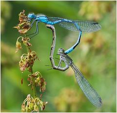 Common Blue Damselfly,Pocklington Canal (Antony Ward) Tags: damselfly commonbluemating pocklingtoncanal