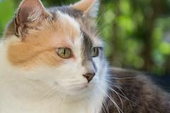 Mimi (bertrandwaridel) Tags: 2018 echallens may mimi spring switzerland vaud calico cat garden suisse