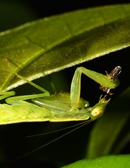 Mantis Feast (Craig Tuggy) Tags: praying mantis eat macro thailand reverse lense nature