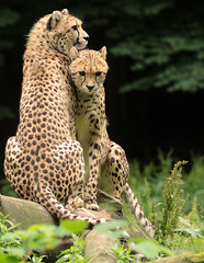 cheetah Burgerszoo JN6A6079 (j.a.kok) Tags: cheetah jachtluipaard jacinonyxjubates animal africa afrika cat kat mammal zoogdier dier predator burgerszoo