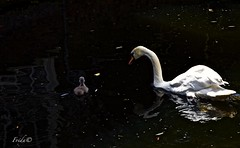 Baby sitting (The world in f stops) Tags: delft holland the netherlands swan animal nature fauna spring