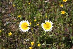 Anglų lietuvių žodynas. Žodis fritillaria agrestis reiškia <li>fritillaria agrestis</li> lietuviškai.