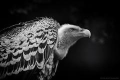 Rüppell's vulture - Rüppells gier (schreudermja) Tags: rüppellsvulture rüppellsgier gier aasgier afrika avifauna vulture thenetherlands nederland nikond800e martyschreuder alphenaanderijn bw monochrome portrait bird vogel blackandwhite