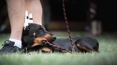 Pup toy (zola.kovacsh) Tags: outdoor animal pet dog doberman pinscher dobermann club show pup puppy