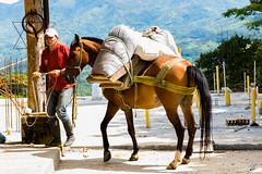 Arriero y mula (carlosbenju) Tags: naturaleza nature horse caballo finca farm establo barn horsehouse montaña montañas mountains landscape paisaje colombia antioquia