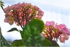 DSC_7375 (Phytophot) Tags: smileonsaturday flowersbottom hortensia hydrangea blumen