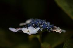 Hydrangea,Iwamoto Mountain Park (ULTRA Tama) Tags: japan shizuoka fuji todays dayliphoto instadaily photogenic igjapan loversnippon worldcaptures flickrfriday welovef june 2018 hydrangea iwamoto mountain park flower