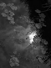Waterplants (STEHOUWER AND RECIO) Tags: water plant plants reed light river sunlight reflections clouds nature flora floral aquatic aquaticplants blackandwhite bw bnw monochrome netherlands nederland aqua holland dutch